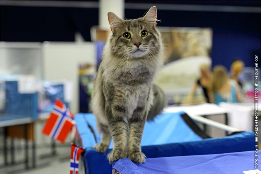 фото норвежская лесная кошка
