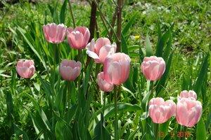 Эприкот импрешн тюльпан