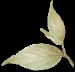 kb-PrecBegin_G_leaf2.png