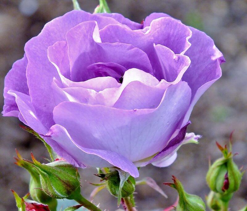 Роза флорибунда Блю фо Ю (Blue for You).