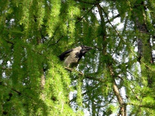 Ворона на лиственнице
