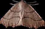 cvd inner storm moth.png