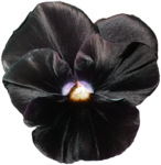 cvd inner storm pansy.png