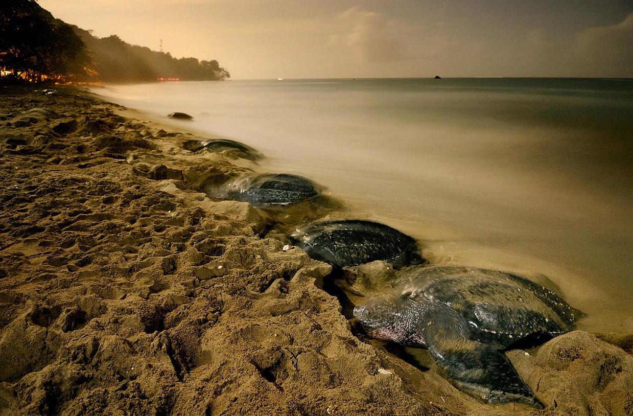 Кожистые черепахи – самый крупный, самый глубоко погружающийся и самый древний вид черепах. А ещё эт