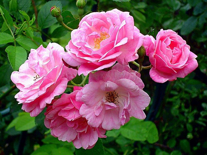 Летние цветы райского садика в с.Остров,шиповник