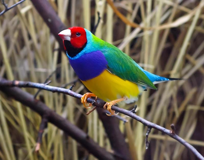 Гульдова амадина-одна из самых ярких и красивых птиц