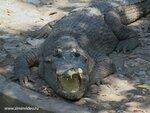 Крокодил.Тайланд