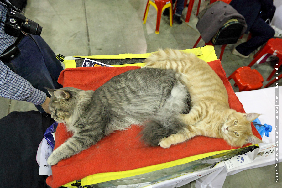 фото котов Мейн-кун
