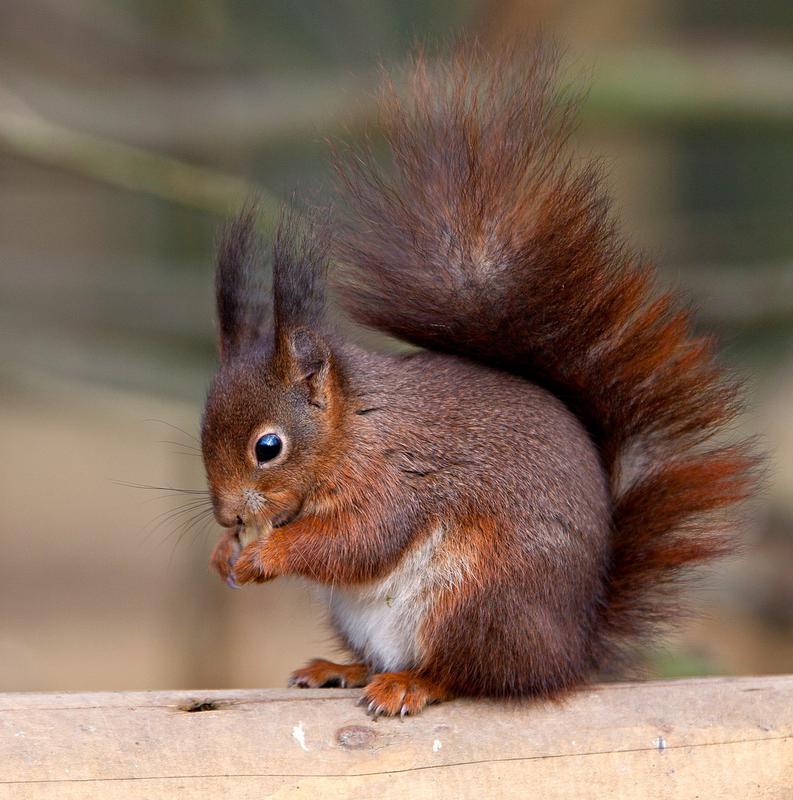 Red squirrels (30 photos) .