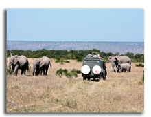 Кения. Safari game drive with the elephants  in the bush of the masai reserve in kenya africa. Фото STYLEPICS - Depositphotos