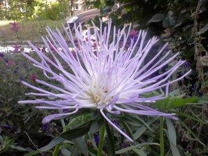 Астры и хризантемы - Страница 3 0_8d963_291bd473_M