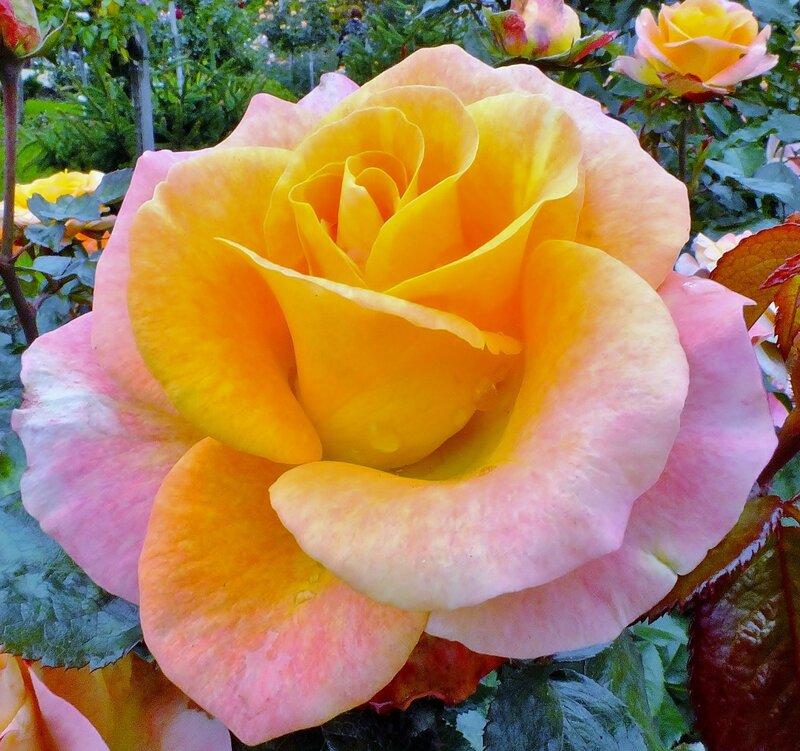 Роза сентября.....