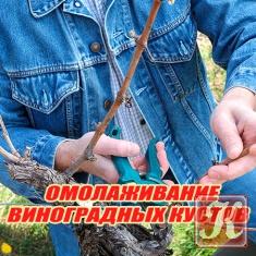 Книга Книга Омолаживание виноградных кустов