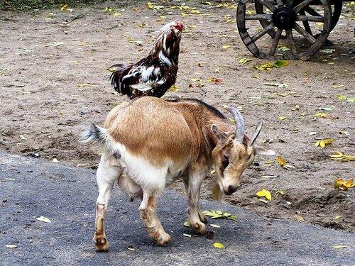 опять эта глупая курица...