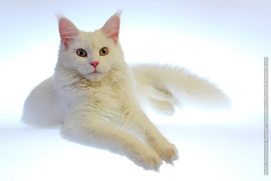 фотография кошки мейн кун белого цвета