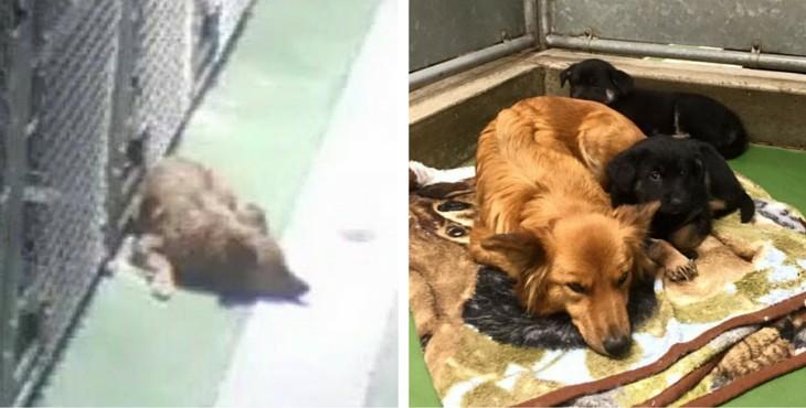Собака сбежала из клетки в приюте, чтобы успокоить плачущих щенков