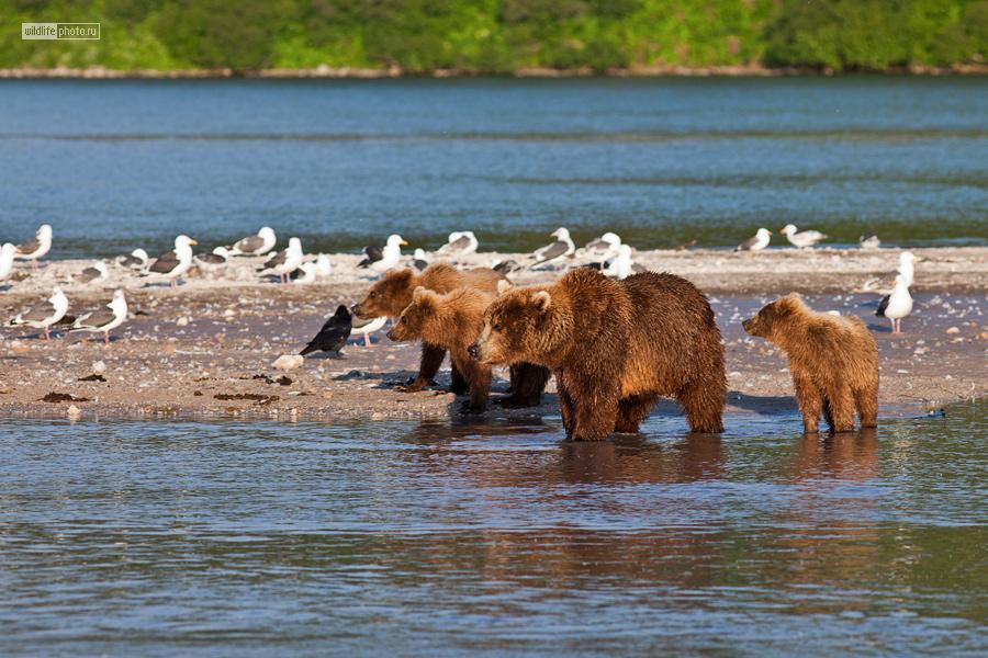 как камчатский медведь ловит рыбу