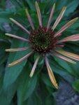 Echinacea  Hot Papaya (начало роспуска).JPG