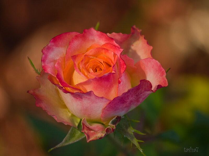 Вальс чайных роз...
