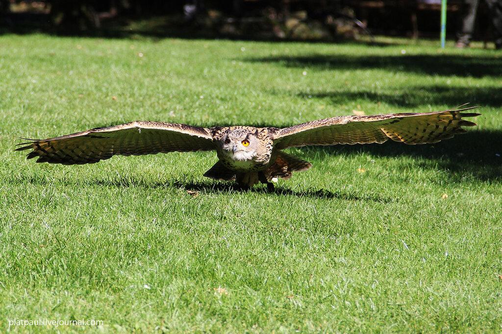 Национальный парк Айфель, Хищные птицы.