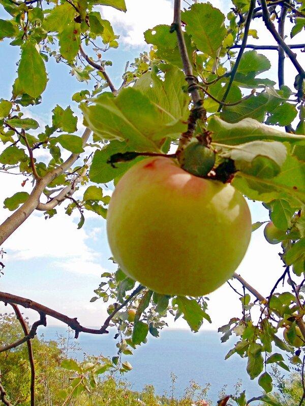 Крым, осенний Людочкин сад в Алупке, урожай