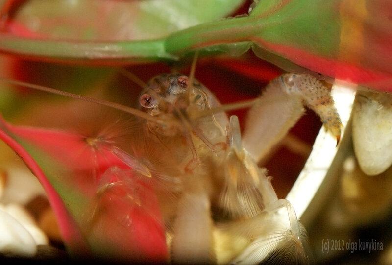 Камерунский фильратор (Atya gabonensis)