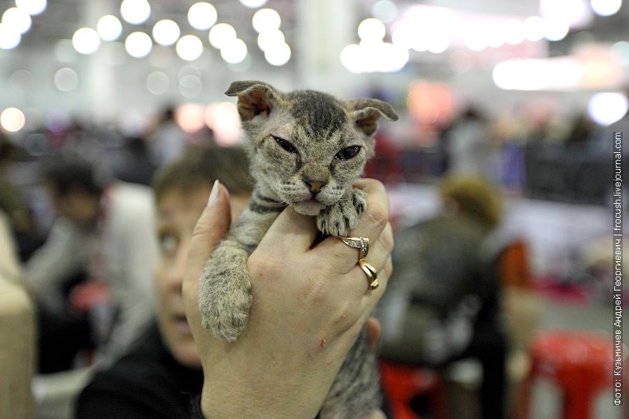 Котенок Украинский левкой выставка кошек