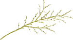 Lilas_Old-Garden_elmt (101).png