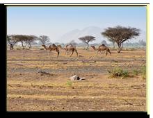 ОАЭ. Camels in the Dubai Desert hainaultphoto - shutterstock