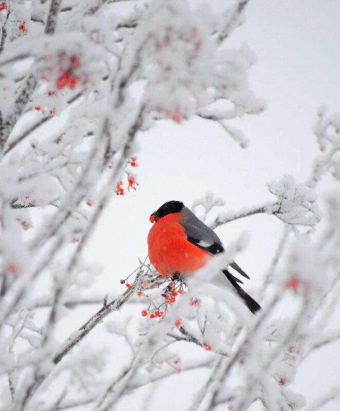 Снегири прилетели...это настоящая зима!!!
