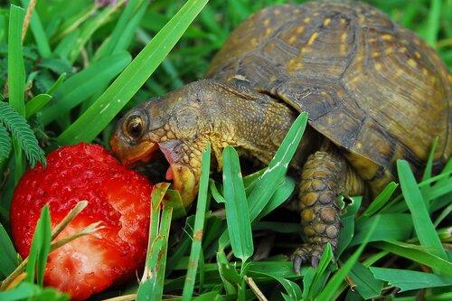 Черепаха с земляникой
