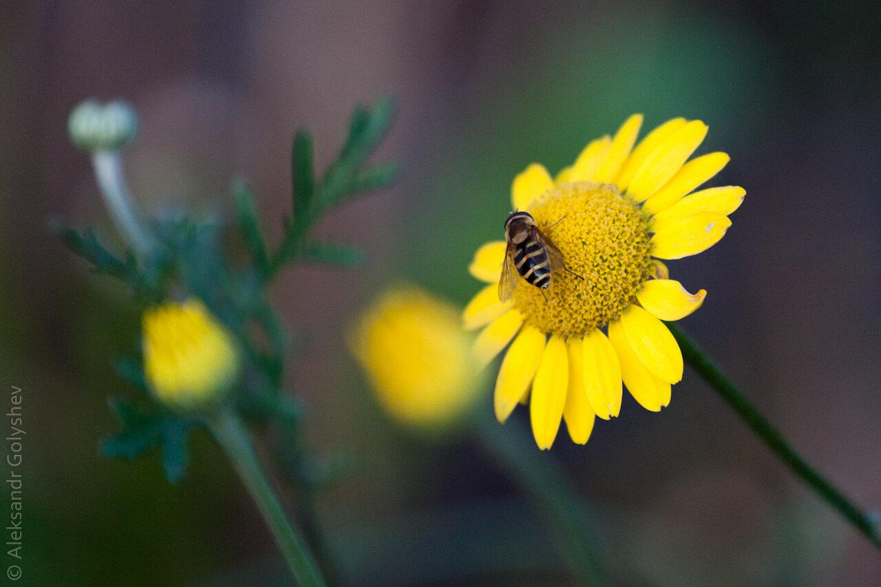 Муха и цветок