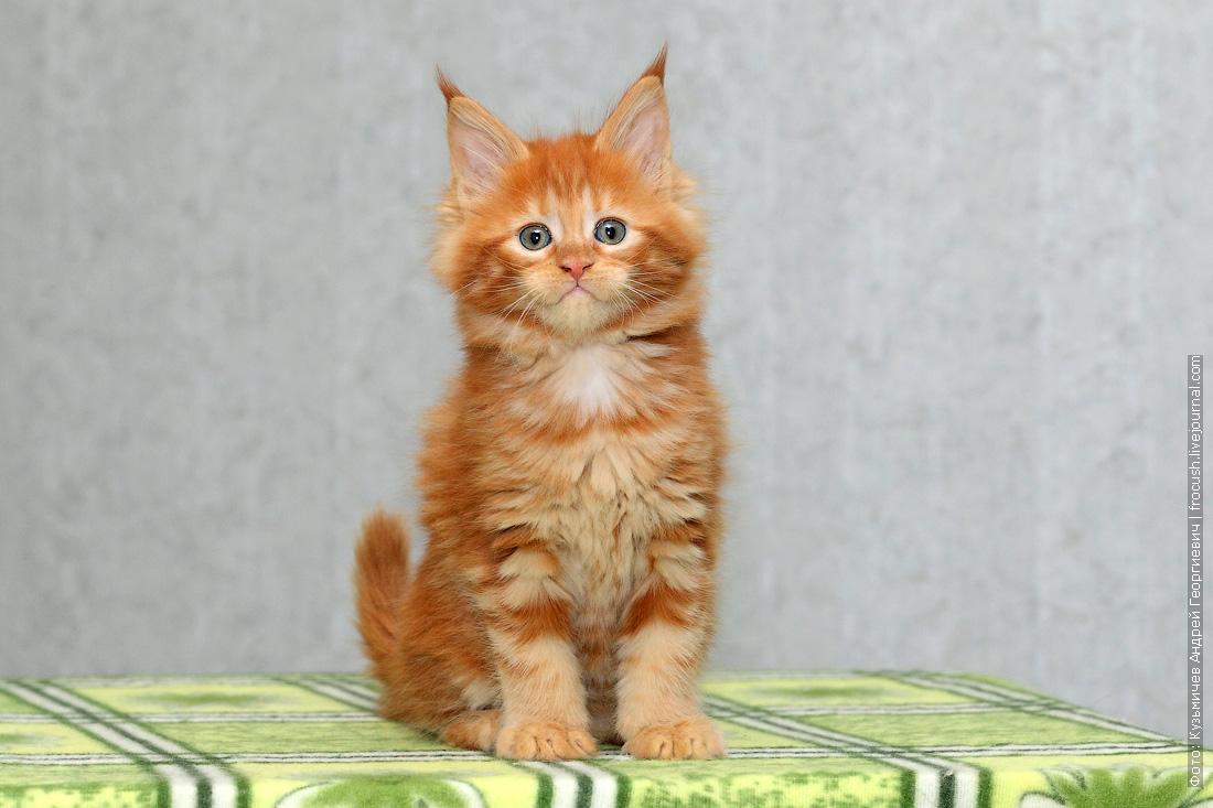 питомник котенок мейн кун в Москве