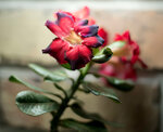 Adenium Obesum Desert Rose BLACK FIRE