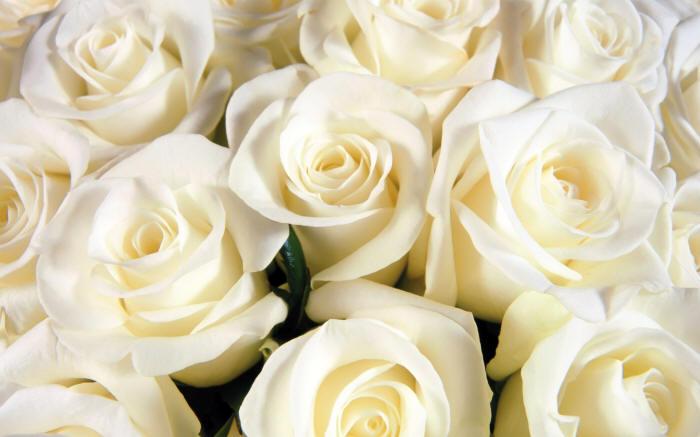 багато білих троянд