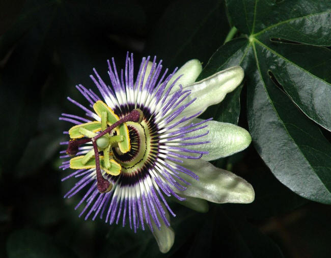пасифлора