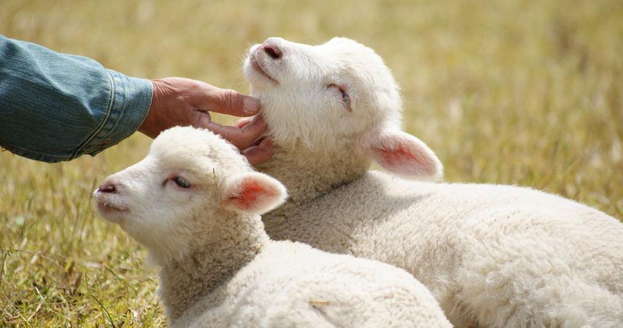 выбор овцы