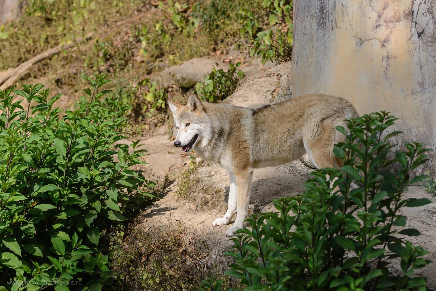 Фото 10. Гималайский волк в зоопарке Дарджилинга. Отзывы о самостоятельной поездке в Индию в ноябре.