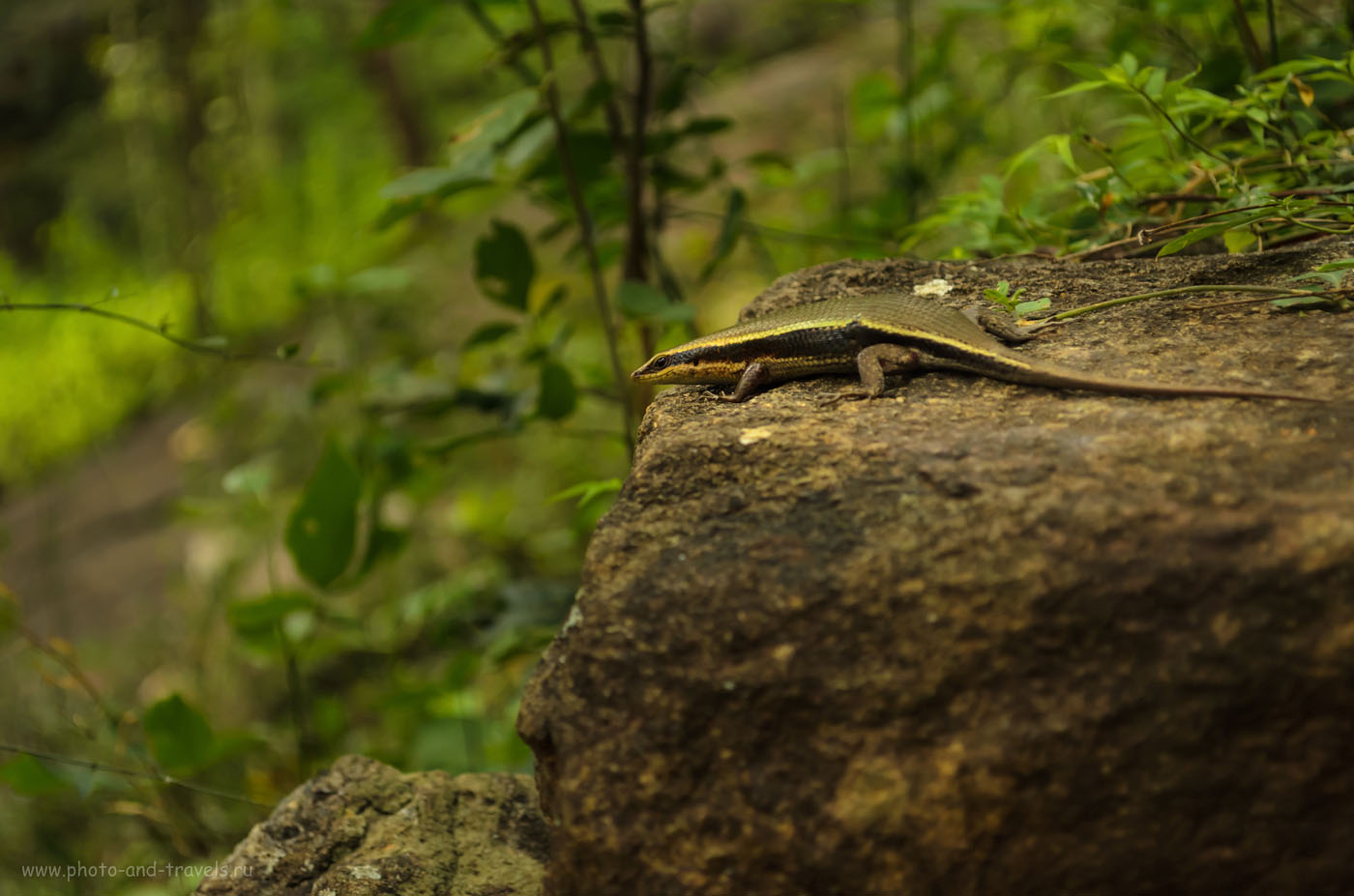 Фото 13. Ящерица на каменной ступени у подножья горы Сигирия. Отзывы туристов о самостоятельных поездках к интересным местам на Шри-Ланке.