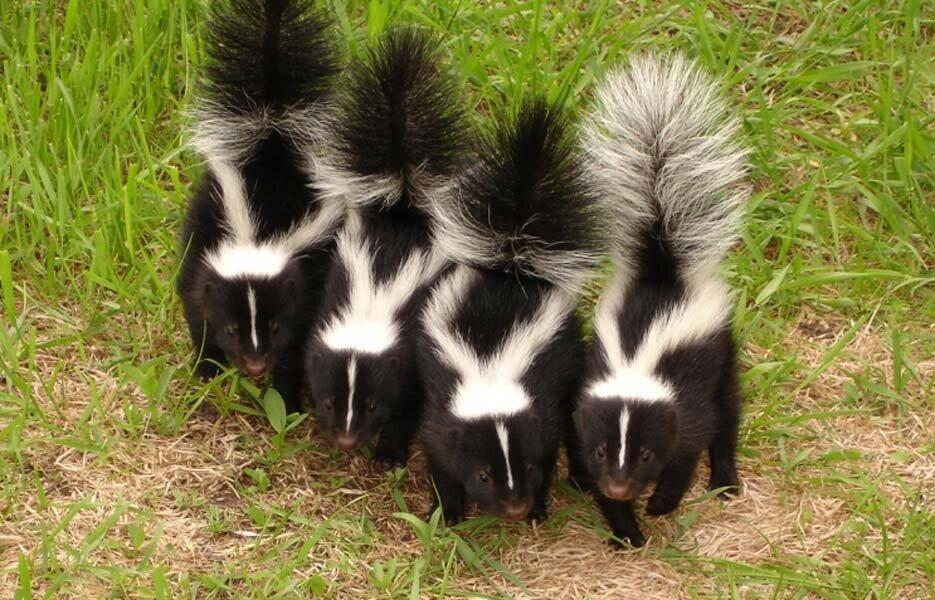 skunk_007.jpg