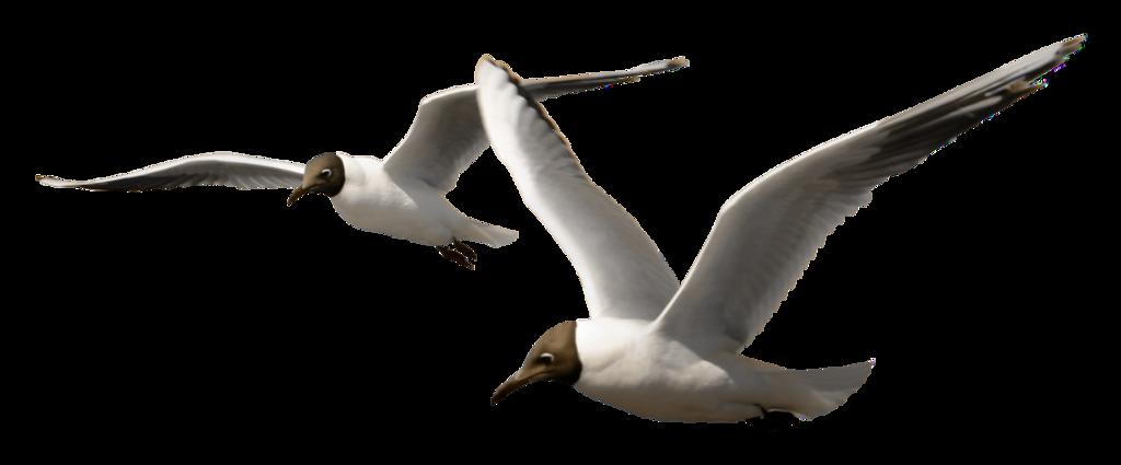 seagulls33.png