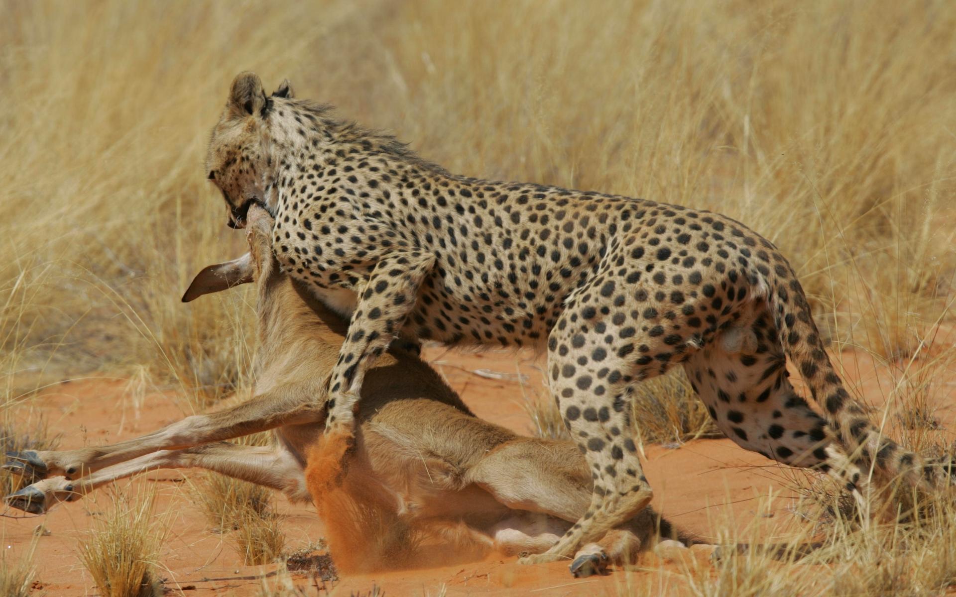 Гигантский гепард