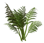 R11 - Nature Time 1 - Fern - 005.png