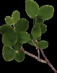 Lilas_btd_foliage6.png