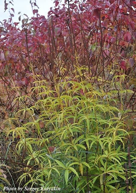 Veronicastrum virginicum Roseum.jpg