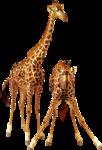girafes1.png