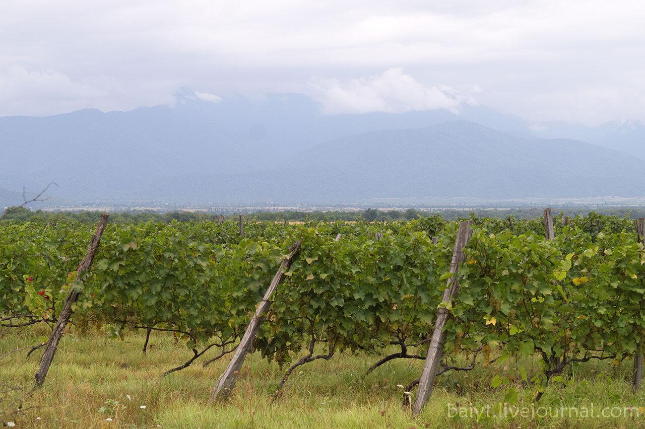 Типичный кахетинский пейзаж: виноградники и Большой Кавказ вдали.