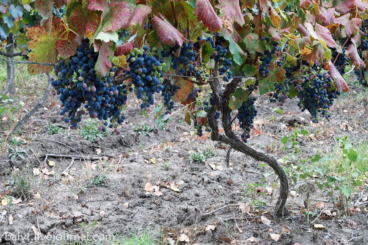 Лоза в винограднике монастыря Алаверди.