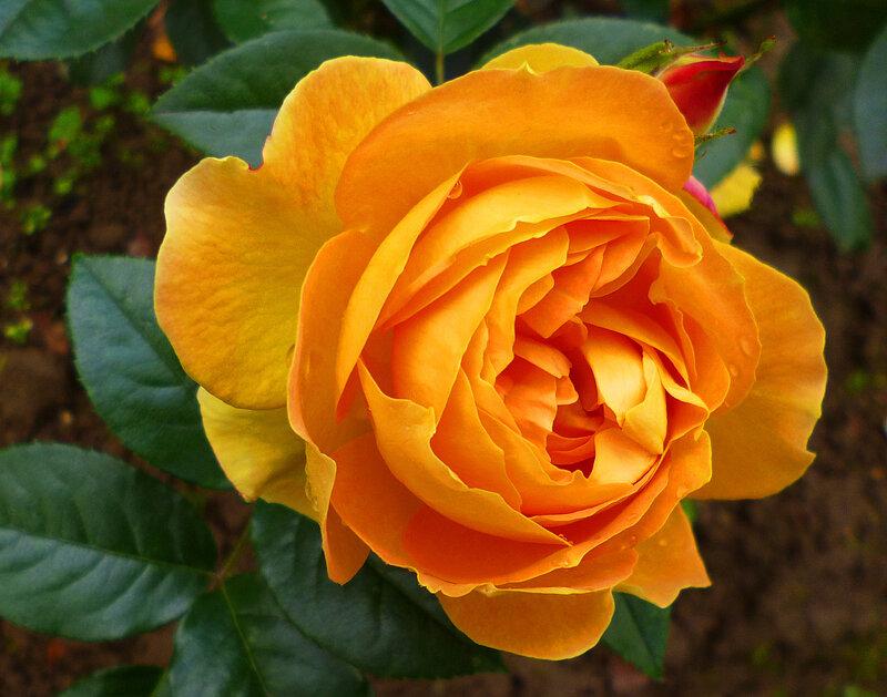Розы в подарок! Значение цветов!