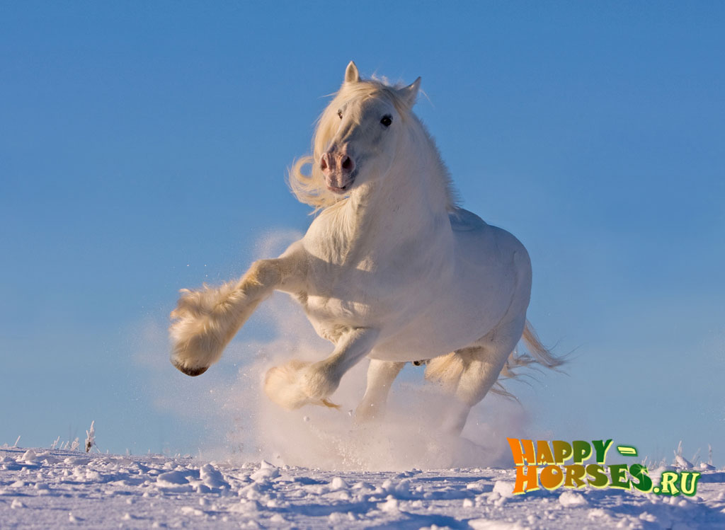 White shire horse running in the snow